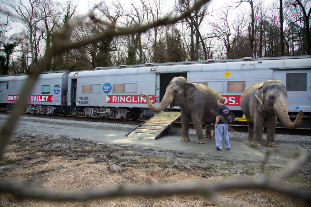 "Elephants disembark the train on a break to stretch their legs on the train ride between Richmond, VA and Washington DC. Ringling Bros. and Barnum & Bailey Circus started in 1919 when the circus created by James Anthony Bailey and P. T. Barnum merged with the Ringling Brothers Circus. Currently, the circus maintains two circus train-based shows, the Blue Tour and the Red Tour, as well as the truck-based Gold Tour. Each train is a mile long with roughly 60 cars: 40 passenger cars and 20 freight. Each train presents a different ""edition"" of the show, using a numbering scheme that dates back to circus origins in 1871 — the first year of P.T. Barnum's show."